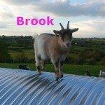 Brook-OurHerd1