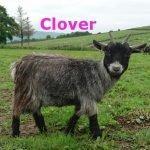 Clover-Ourherd