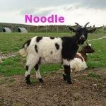 Noodle-OurHerd2