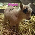 Piglet-Ourherd