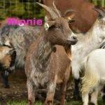 Minnie - ourherd2