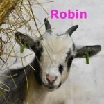 Robin-OurHerd2