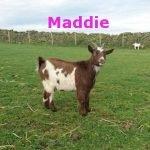 Maddie-OurHerd