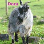 Dora-OurHerd2