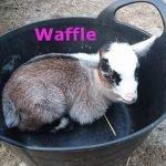 Waffle - Ourherd