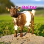Belter-herd